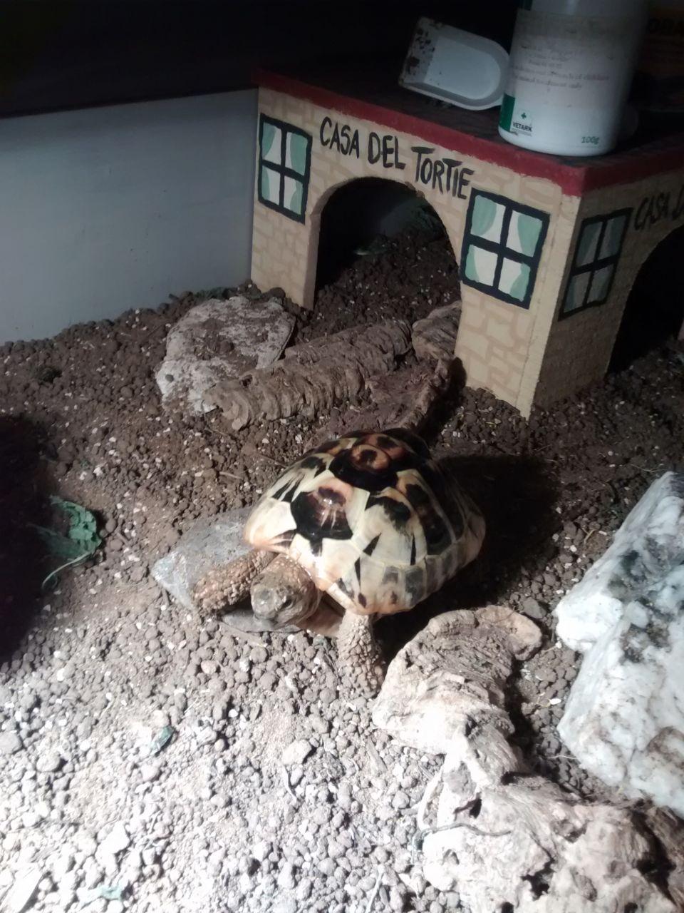 Babysitting a tortoise